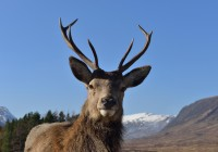 red deer, stag,