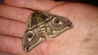 glencoe, ranger, nts, emperor, moth,