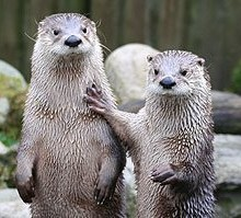 otters3