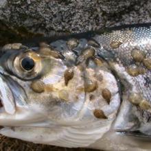trout, glencoe, sea lice,