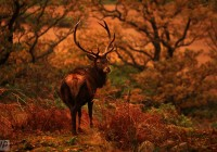 stag, deer, autumn, rut, glencoe, scotland, west highland,