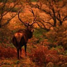 WolfyPic, stag, rut, autumn, glencoe, scotland, west highlands,